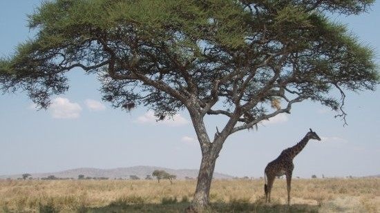 Single giraffe standing under a tree in the desert