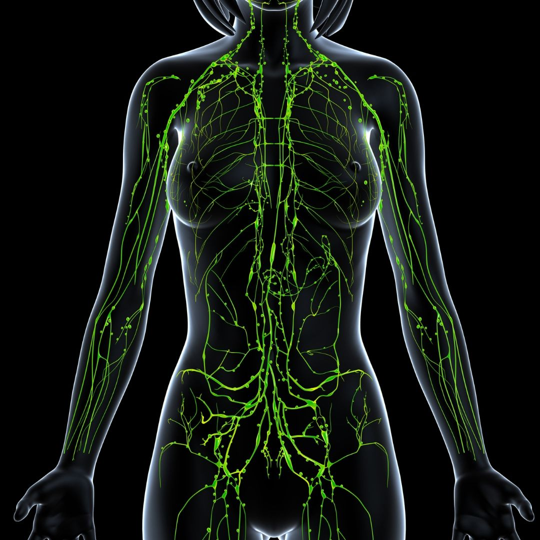 Animation of human lymphatic system indicated by green lymph nodes inside the upper body of a transparent human